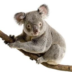 koala_sm.jpg